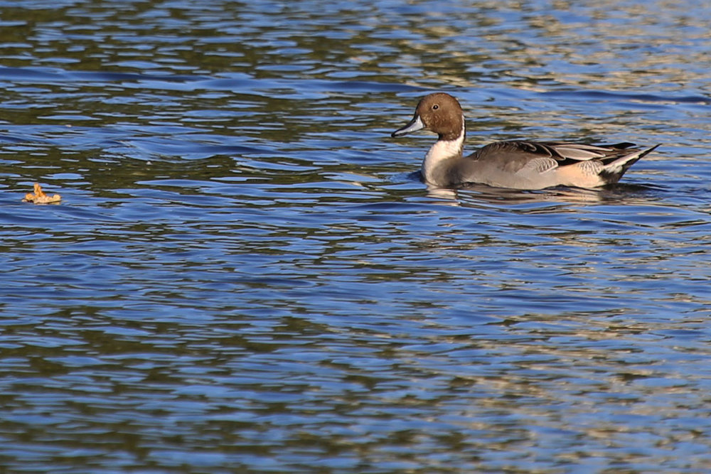 Northern Pintail / 24 Oct / Kings Grant Lakes