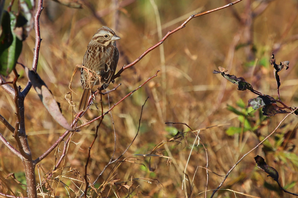 Song Sparrow / 28 Oct / Back Bay NWR