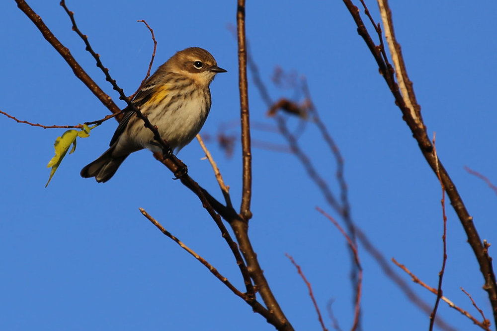 Yellow-rumped Warbler / 29 Oct / Back Bay NWR