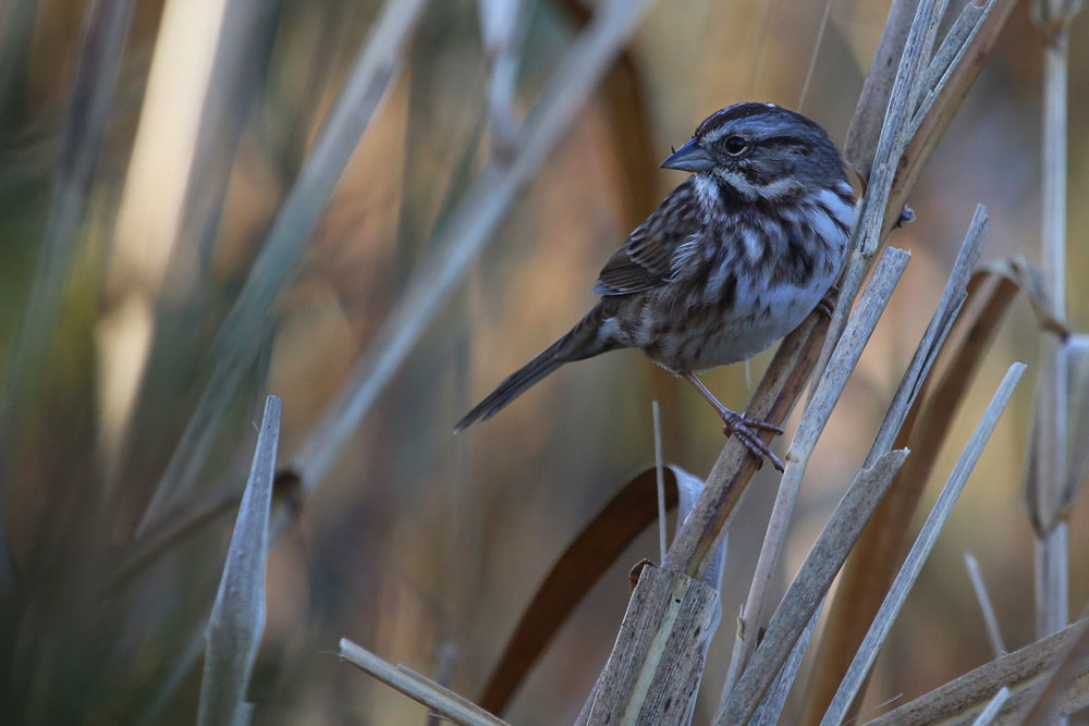 Song Sparrow / 29 Oct / Back Bay NWR