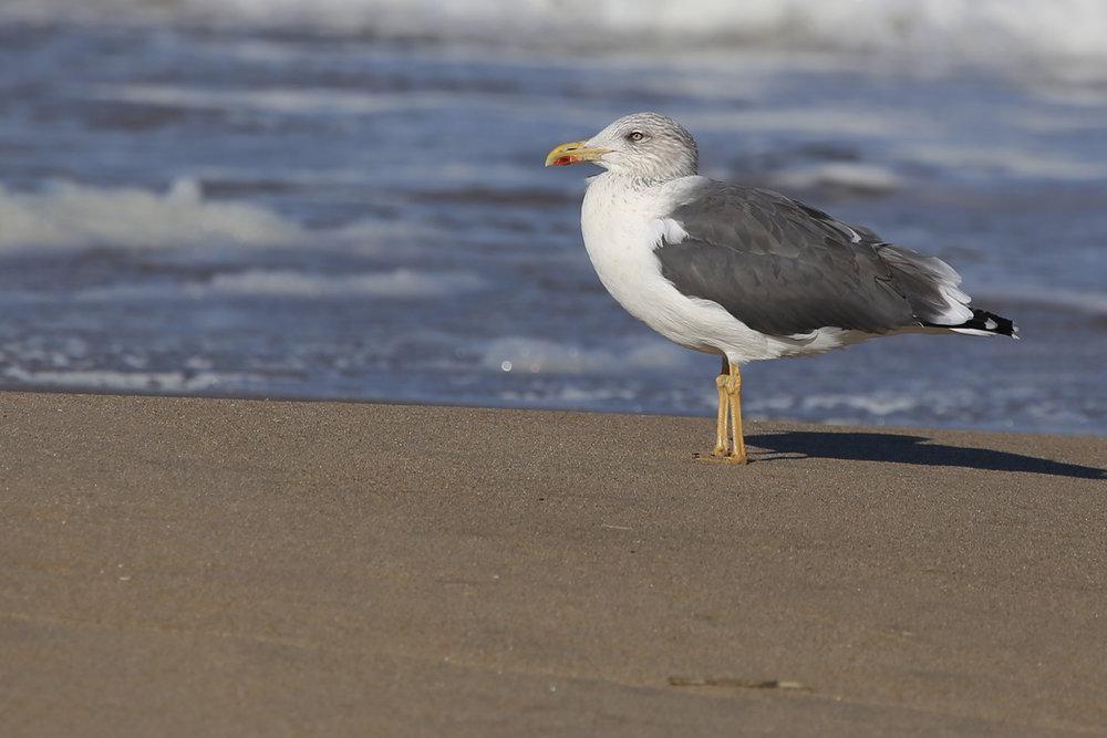 Lesser Black-backed Gull / 6 Nov / Back Bay NWR