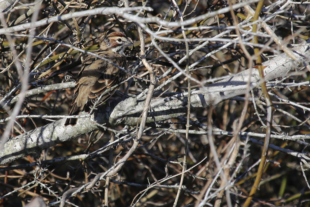 Lark Sparrow / 6 Nov / Back Bay NWR