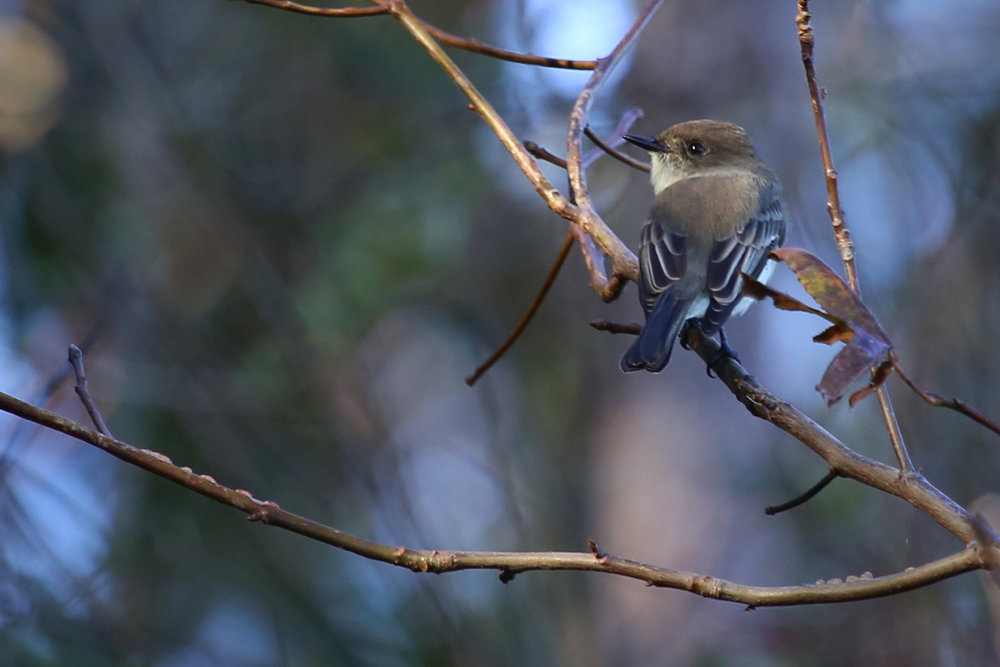 Eastern Phoebe / 13 Nov / Princess Anne WMA Whitehurst Tract