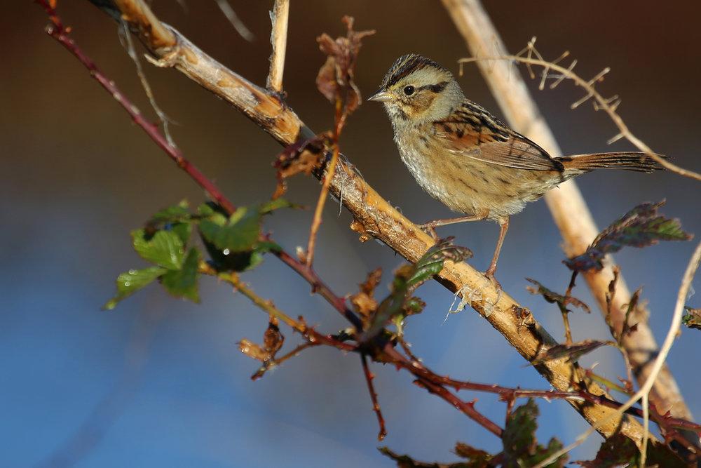 Swamp Sparrow / 13 Nov / Princess Anne WMA Whitehurst Tract