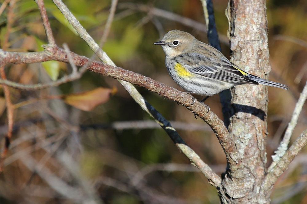 Yellow-rumped (Myrtle) Warbler / 13 Nov / Princess Anne WMA Whitehurst Tract