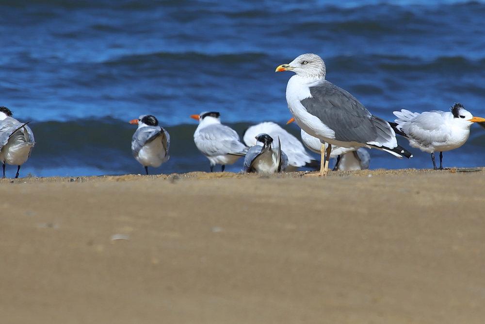 Royal Terns & Lesser Black-backed Gull / 13 Nov / First Landing SP
