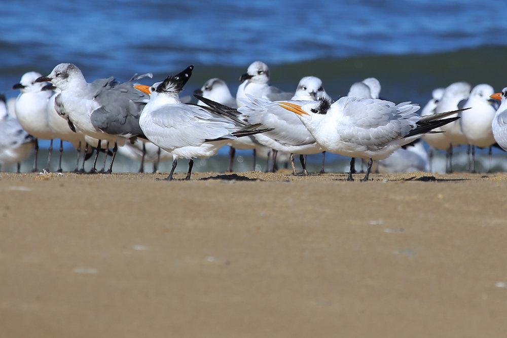 Royal Terns & Laughing Gulls / 13 Nov / First Landing SP