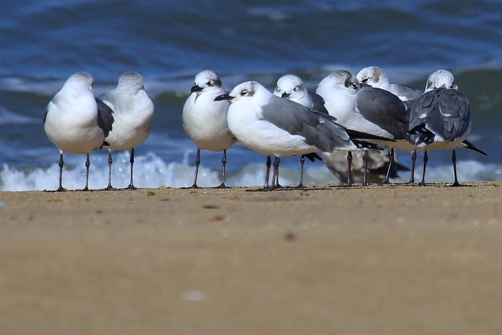 Laughing Gulls / 13 Nov / First Landing SP