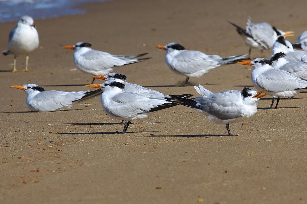 Royal Terns & Ring-billed Gull / 13 Nov / First Landing SP