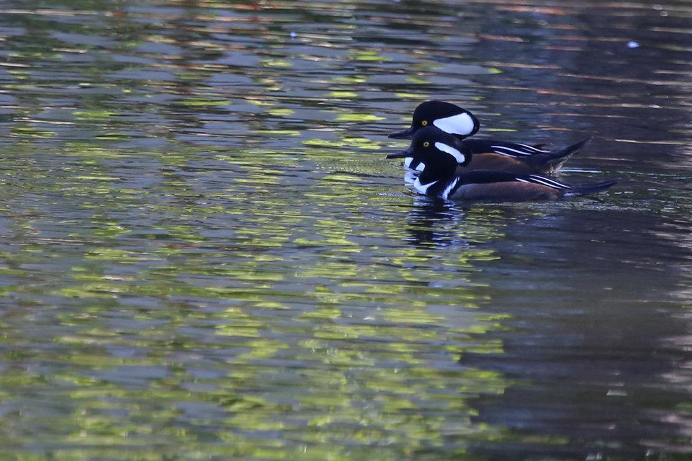 Hooded Mergansers / 13 Nov / Kings Grant Lakes