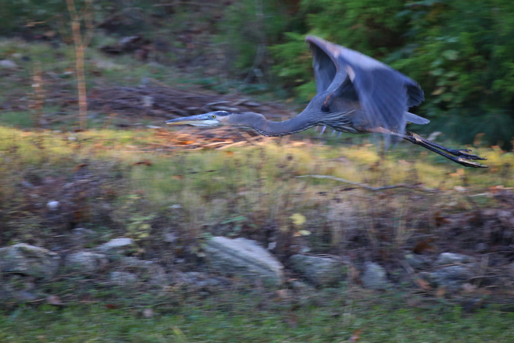 Great Blue Heron / 18 Nov / Kings Grant Lakes
