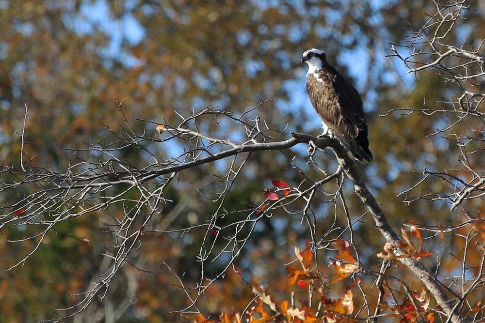 Osprey / 20 Nov / Pleasure House Point NA