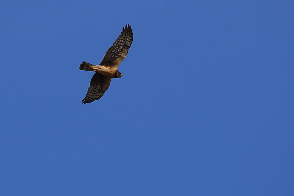 Northern Harrier / 3 Dec / Pleasure House Point NA