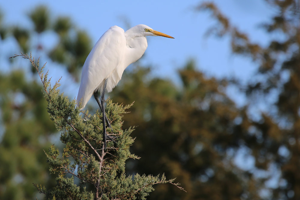 Great Egret / 3 Dec / Pleasure House Point NA