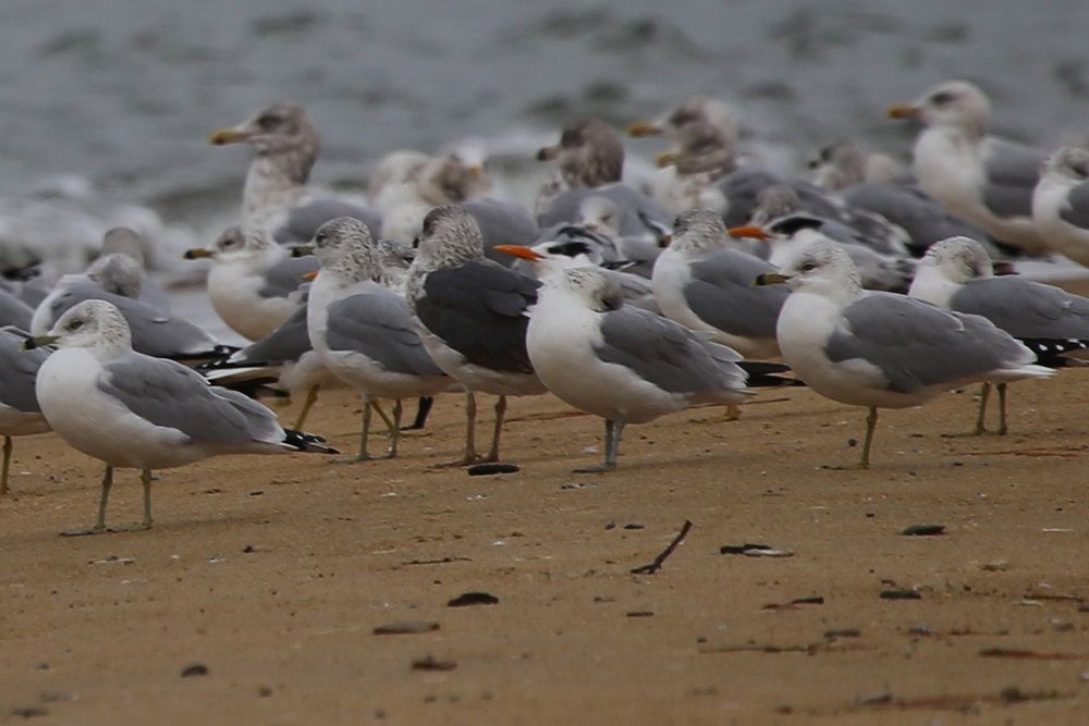 Royal Terns with Herring, Lesser Black-backed & Ring-billed Gulls / 4 Dec / First Landing SP
