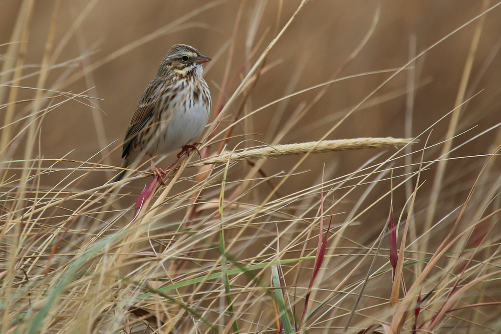 Savannah Sparrow / 4 Dec / First Landing SP
