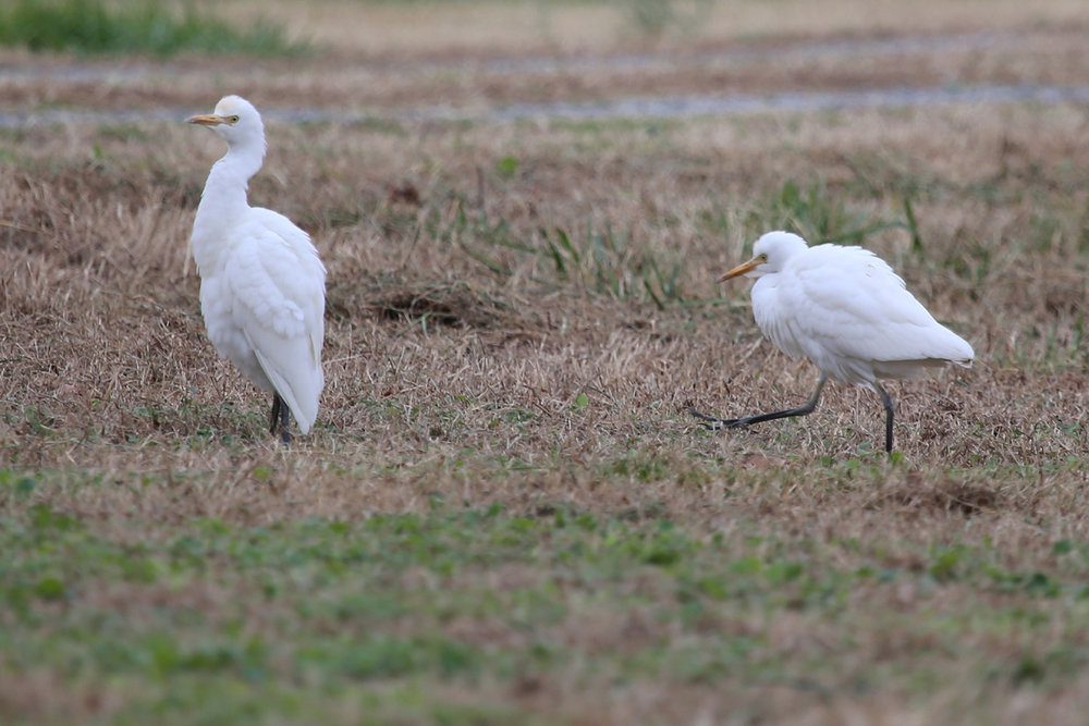 Cattle Egrets / 4 Dec / Princess Anne Rd.
