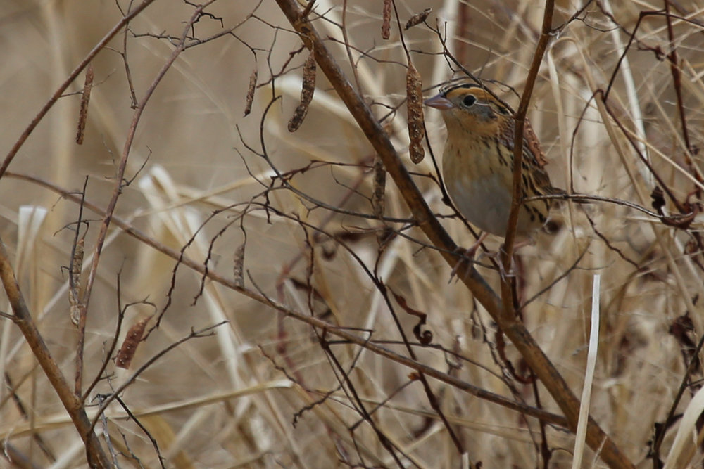 Le Conte's Sparrow / 4 Dec / Princess Anne WMA