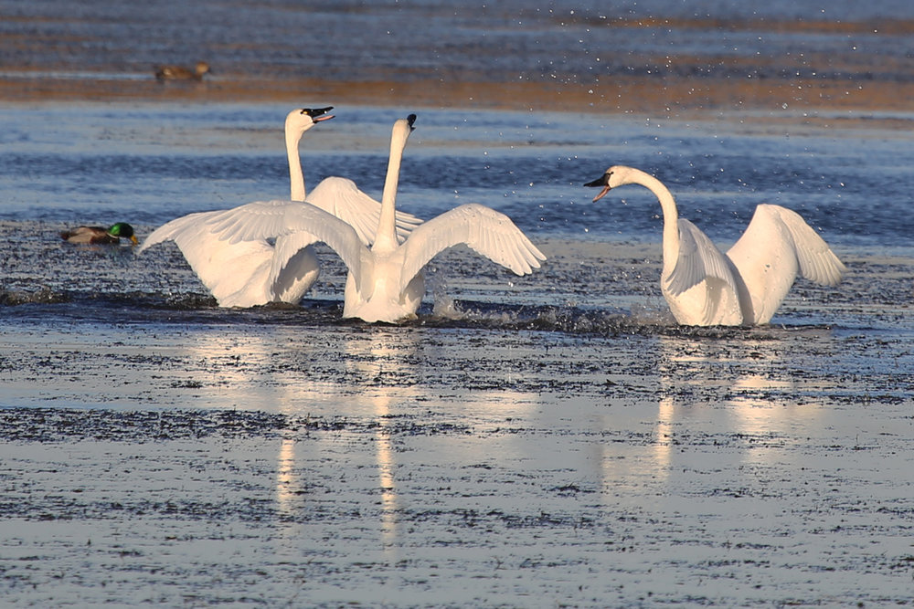 Tundra Swans / 10 Dec / Back Bay NWR
