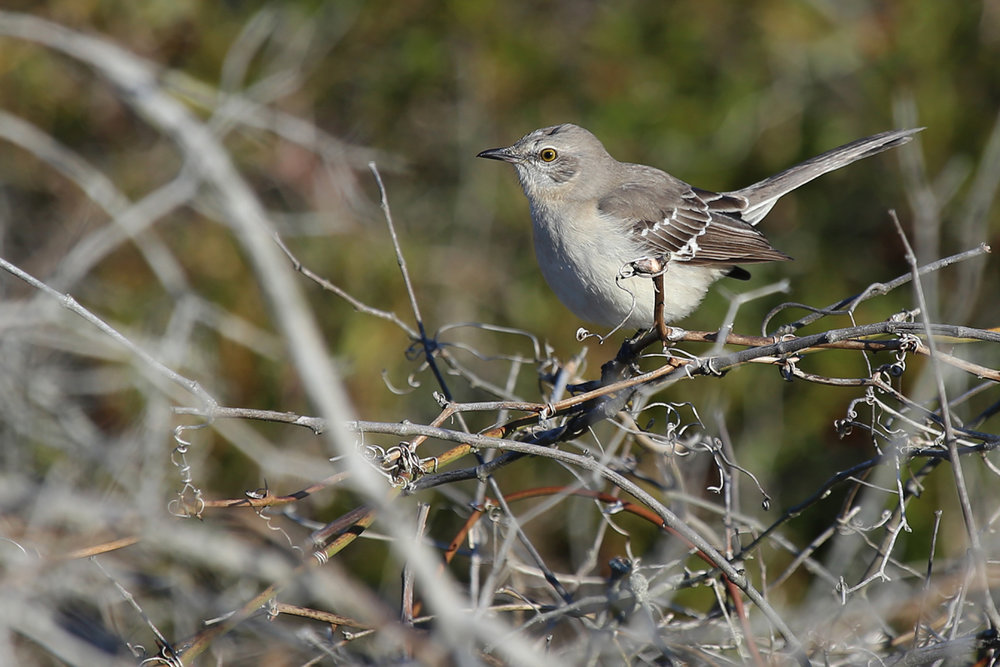 Northern Mockingbird / 10 Dec / Back Bay NWR