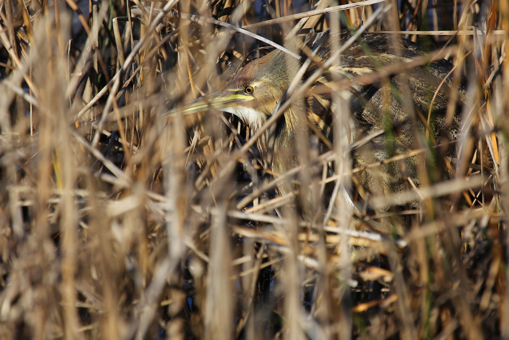 American Bittern / 10 Dec / Back Bay NWR