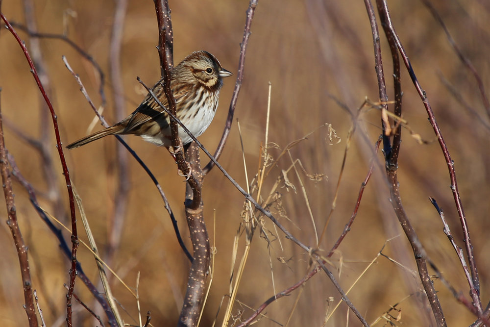 Song Sparrow / 10 Dec / Back Bay NWR