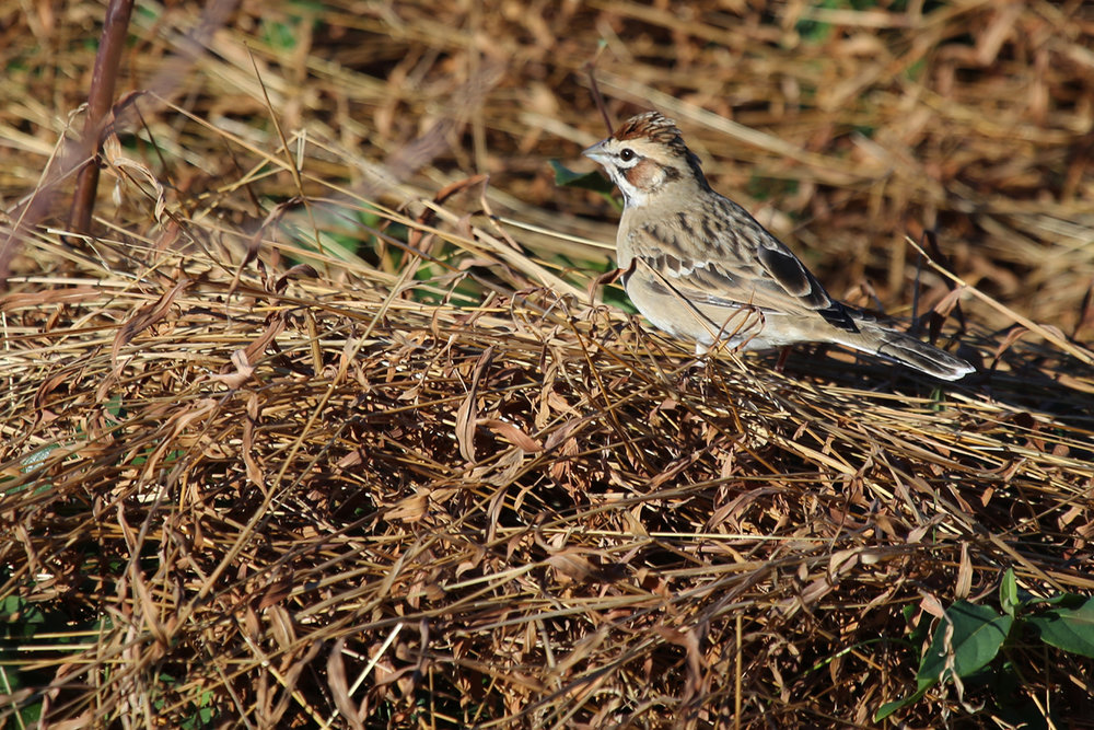 Lark Sparrow / 10 Dec / Back Bay NWR
