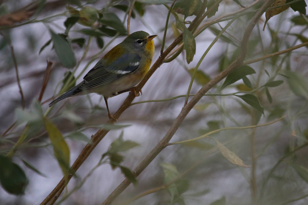 Northern Parula / 16 Dec / Haviland Dr.