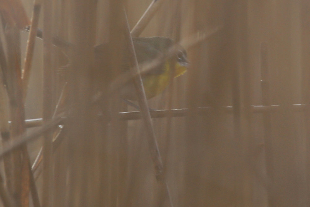 Yellow-breasted Chat / 18 Dec / Back Bay NWR