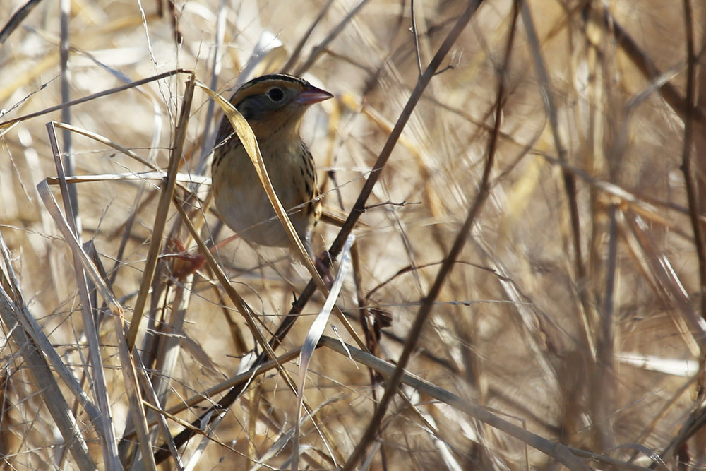 Le Conte's Sparrow / 18 Dec / Princess Anne WMA Beasley Tract