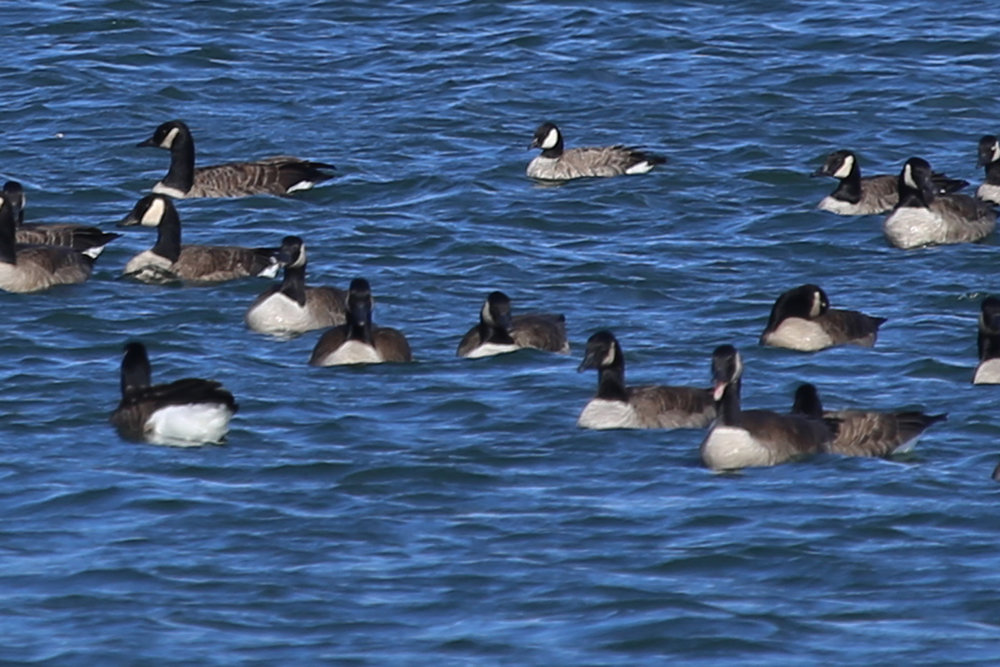 Cackling Goose & Canada Geese / 18 Dec / Sherwood Lakes