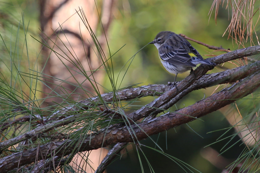 Yellow-rumped Warbler / 11 Dec / Princess Anne WMA Whitehurst Tract