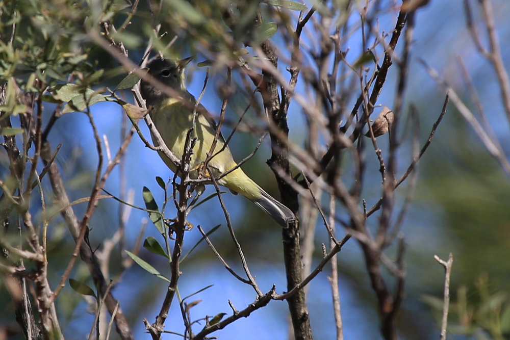 Orange-crowned Warbler / 11 Dec / Princess Anne WMA Whitehurst Tract