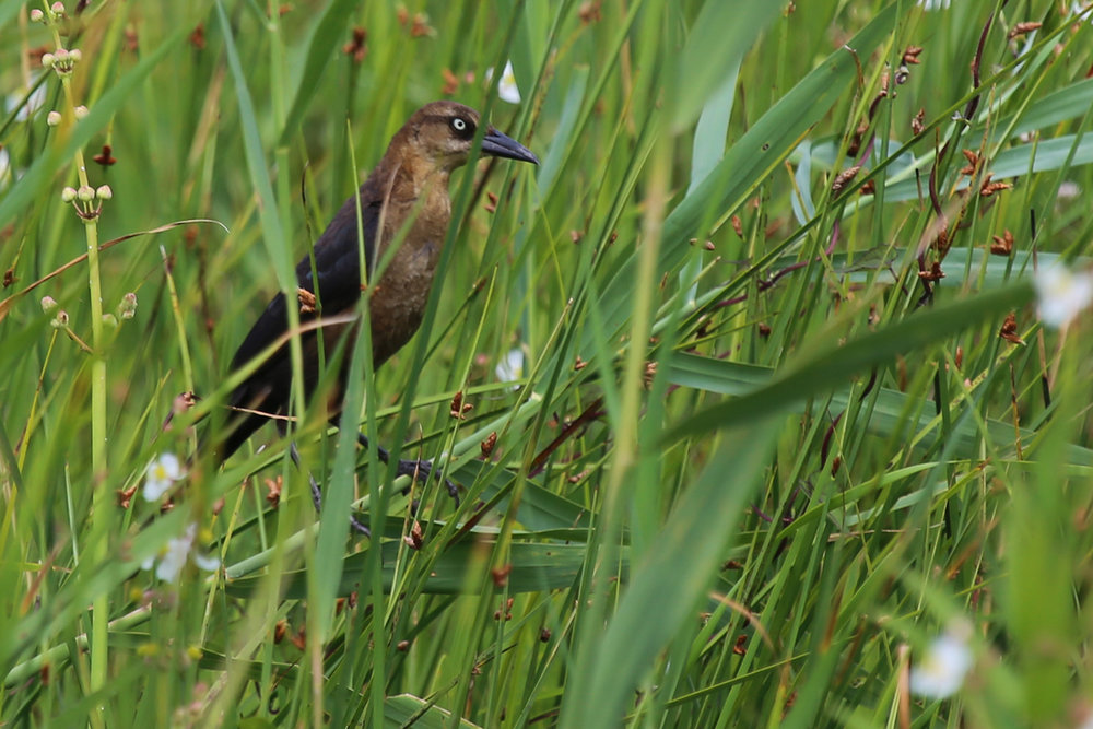 Boat-tailed Grackle / 3 Jul / Back Bay NWR