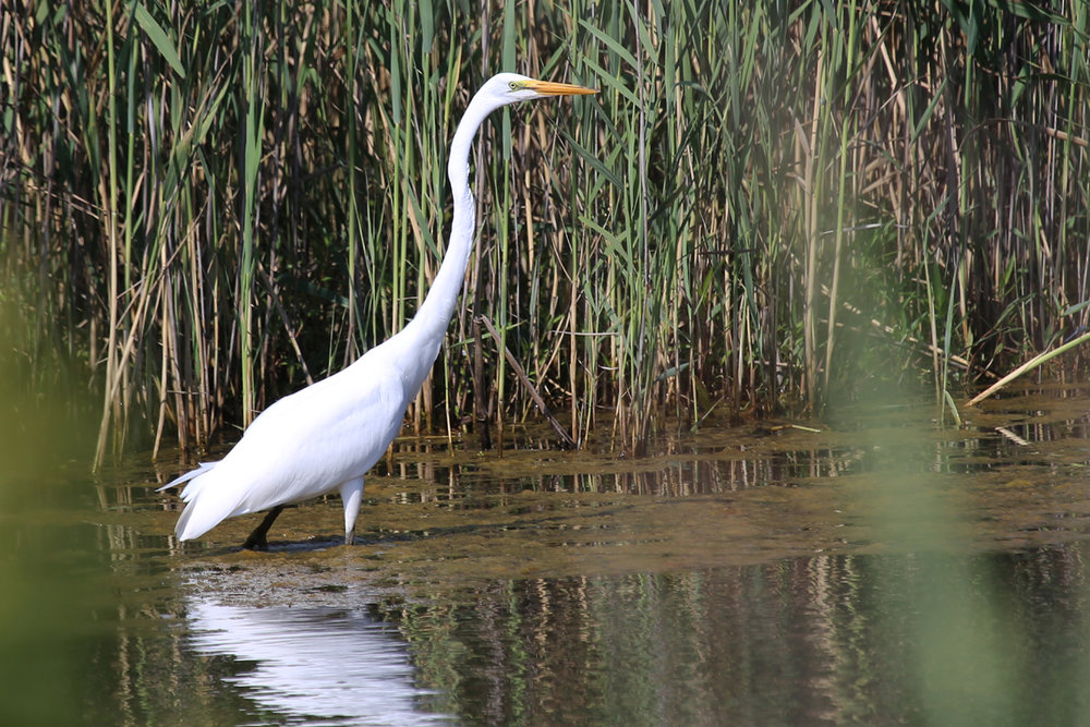 Great Egret / 14 Jul / Princess Anne WMA Whitehurst Tract
