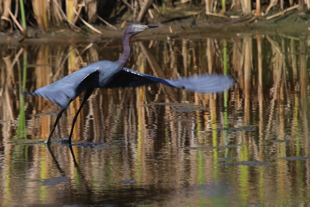 Little Blue Heron / 14 Jul / Princess Anne WMA Whitehurst Tract
