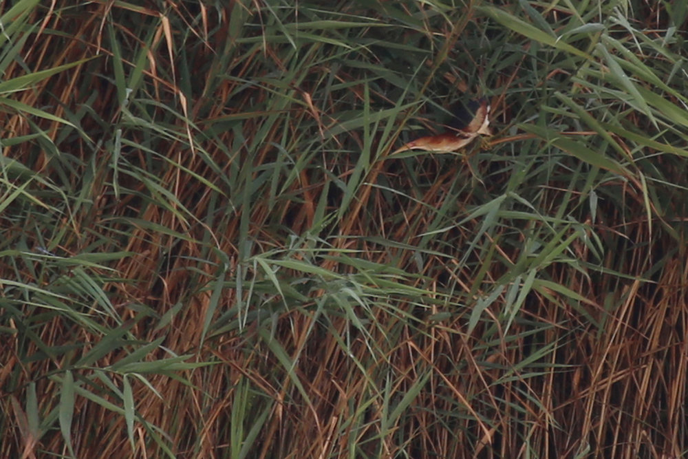 Least Bittern / 15 Jul / Back Bay NWR