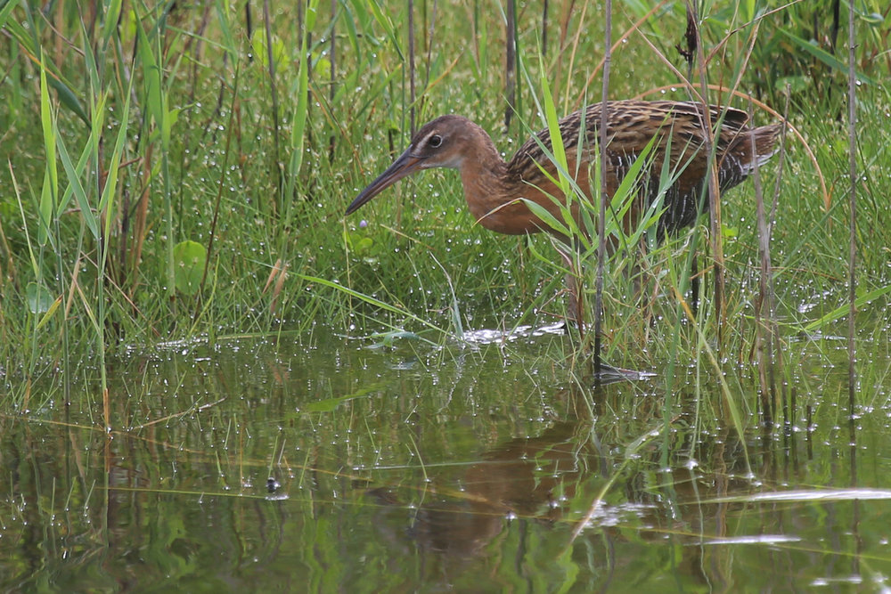 King Rail / 15 Jul / Back Bay NWR