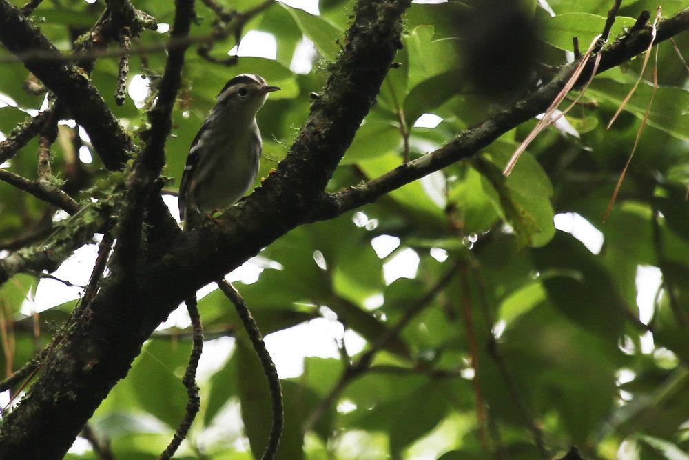 Black-and-white Warbler / 15 Jul / Back Bay NWR