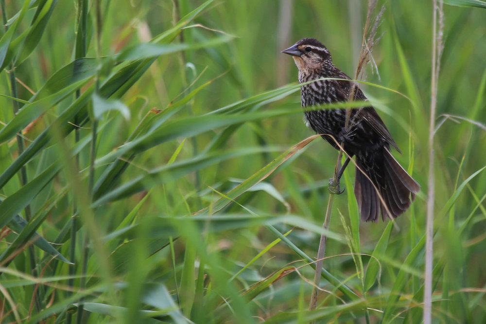 Red-winged Blackbird / 15 Jul / Back Bay NWR