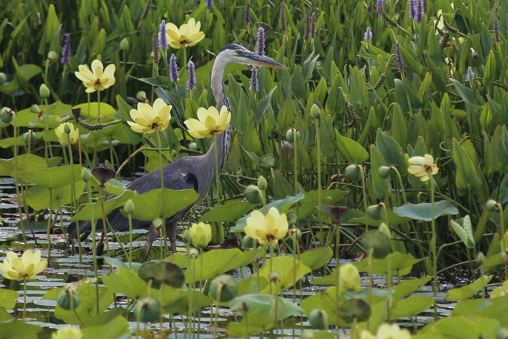 Great Blue Heron / 22 Jul / Back Bay NWR