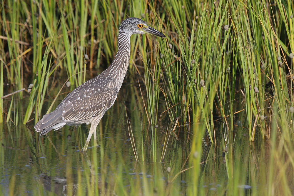 Yellow-crowned Night-Heron / 23 Jul / Pleasure House Point NA