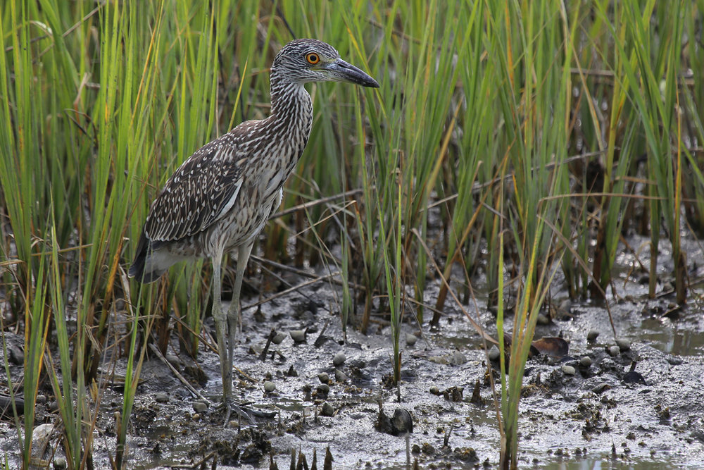 Yellow-crowned Night-Heron / 27 Jul / Pleasure House Point NA