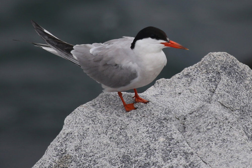 Common Tern / 29 Jul / South Thimble Island