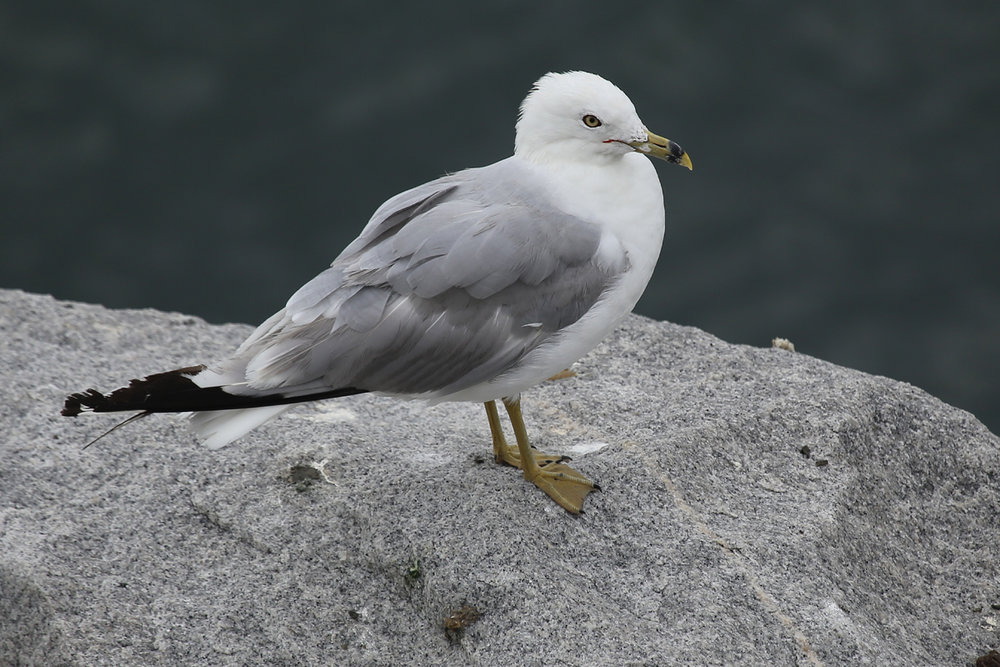Ring-billed Gull / 29 Jul / South Thimble Island