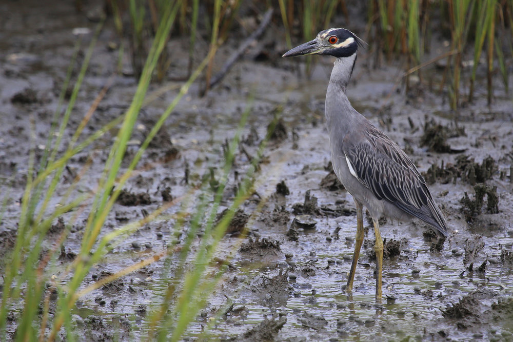 Yellow-crowned Night-Heron / 29 Jul / Pleasure House Point NA