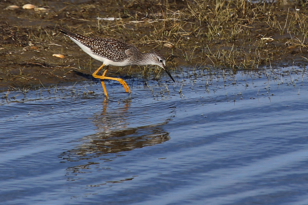 Lesser Yellowlegs / 4 Aug / BacK Bay NWR