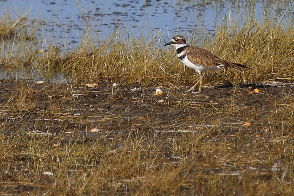 Killdeer / 4 Aug / BacK Bay NWR