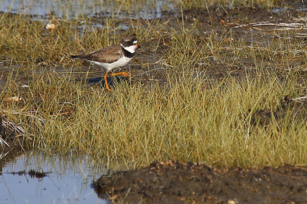 Semipalmated Plover / 4 Aug / BacK Bay NWR