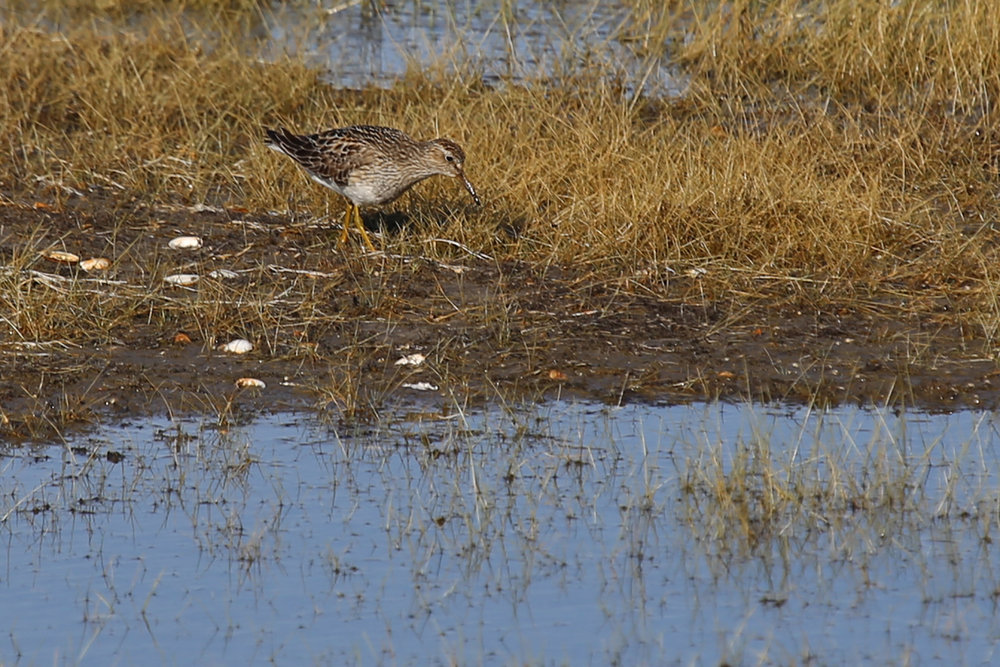 Pectoral Sandpiper / 4 Aug / BacK Bay NWR